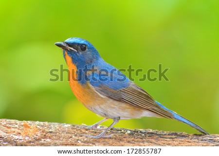 beautiful blue bird, Chinese Blue Flycatcher bird (Cyornis glaucicomans) sitting on the log
