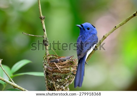 Beautiful blue bird, male of Black-naped Monarch the cute bird guarding its nest with babies