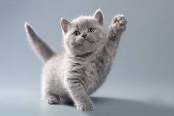 Beautiful blue British shorthair little kitten on a light gray background in playful poses with an intelligent look