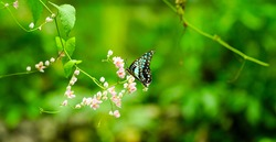 Beautiful blue butterfly in flight and branch of pink creeper flowers. Banner format, copy space. Nature backgroind.