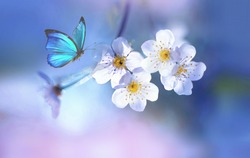 Beautiful blue butterfly in flight over branch of flowering apple tree in spring at Sunrise on light blue and pink background macro. Amazing elegant artistic image nature in spring.