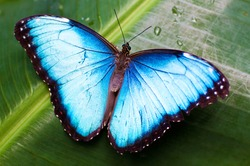 Beautiful blue butterfly on a wet green leave