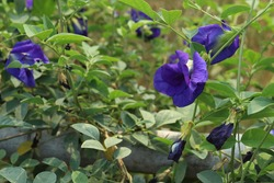Beautiful blue clitoria ternatea or blue butterfly pea flower in a garden with green leaves on background