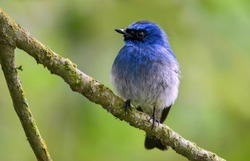Beautiful blue color bird known as Indigo Flycatcher (Eumyias Indigo) in idonesian.