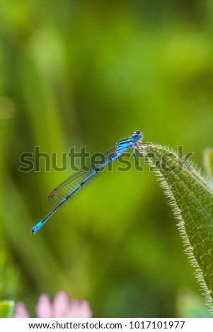 Beautiful blue dragonfly Arrow Southern (Coenagrion mercuriale). Blue Damselfly Coenagrionidae insect on a green herb leaf. #1017101977