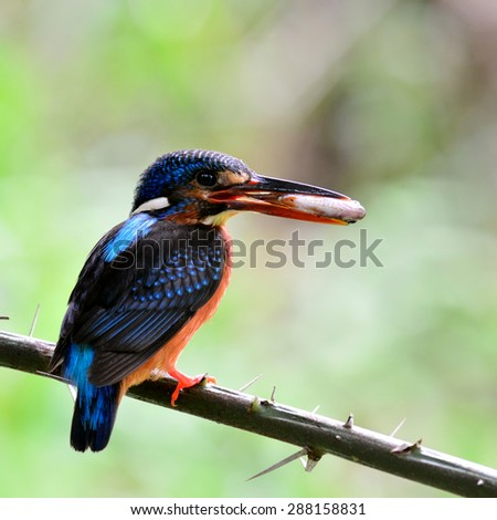Beautiful Blue-eared kingfisher showing back profile, the little blue bird picking fish in her mouth feeding the chicks in the nest hole
