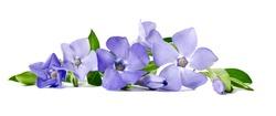 Beautiful blue flower periwinkle isolated on white background