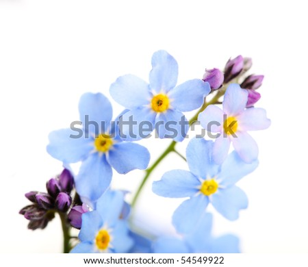 beautiful blue flowers against white isolated background