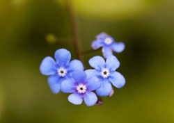 Beautiful blue Forget-me-not flowers and green out of fucus background