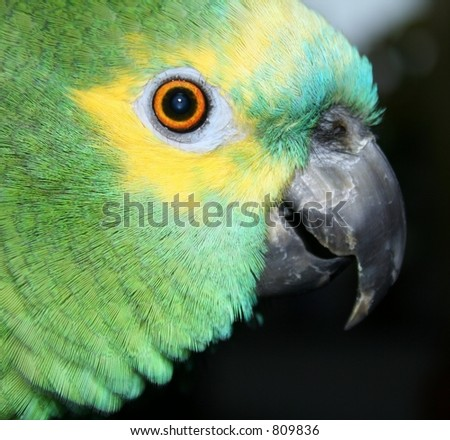 beautiful blue fronted amazon