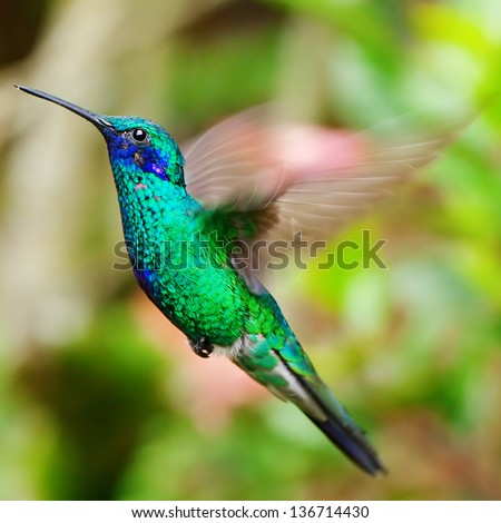 beautiful blue green hummingbird flying over a tropical orange flower kniphofia #136714430