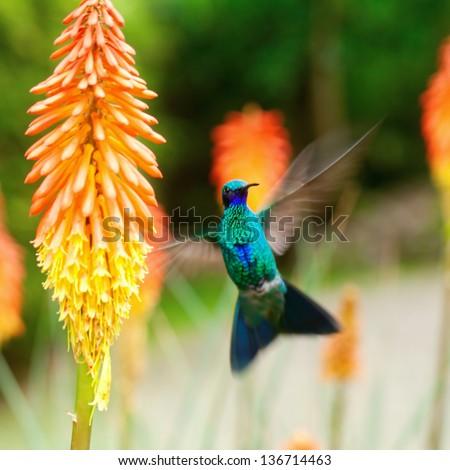 beautiful blue green hummingbird flying over a tropical orange flower kniphofia - stock photo