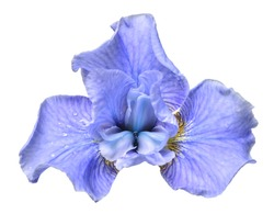 Beautiful blue head iris flower isolated on white background. Flora. Spring. Summer. Flat lay, top view