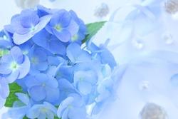 Beautiful blue hydrangea