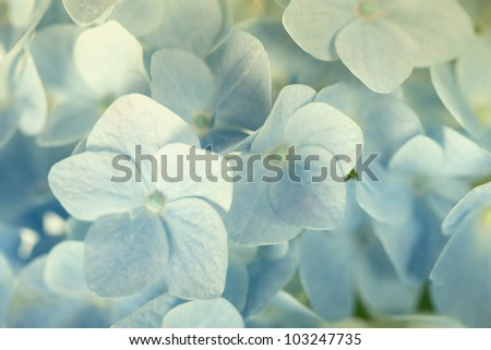 Beautiful blue hydrangea background