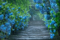 Beautiful blue hydrangea (macrophylla) along the approach at Meigetsuin Temple in Kamakura in Japan on a rainy day