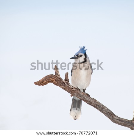 Beautiful Blue Jay perched on a dry tree limb against cloudy sky
