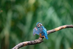 Beautiful blue Kingfisher bird, male Common Kingfisher, sitting on a branch, back profile. Nature green background.