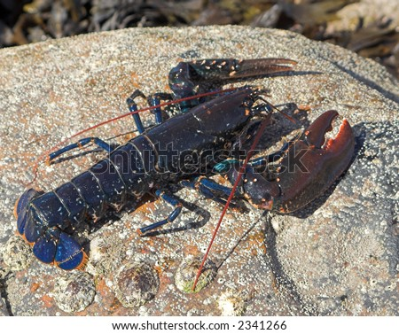 Beautiful blue lobster on a rock with barnacles