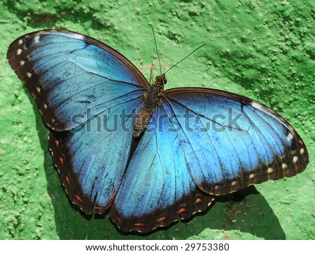 Beautiful blue morpheus butterfly, wings open on green wall, san jose, costa rica, central america. Exotic vibrant colorful insect in tropical setting