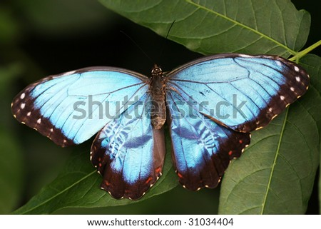 beautiful blue morpho butterfly