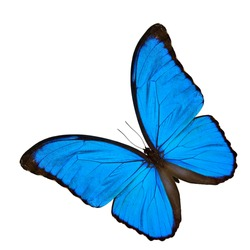 Beautiful Blue Morpho butterfly (disambiguation) or Sunset Morpho,the velvet blue butterfly isolated in perspective shape on white background