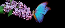 Beautiful blue morpho butterfly on a flower on a black background. lilac flower in water drops isolated on black. lilac and butterfly. copy spaces.