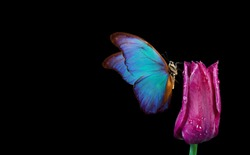 Beautiful blue morpho butterfly on a flower on a black background.Tulip flower in dew drops isolated on black. Tulip bud and butterfly. copy spaces.