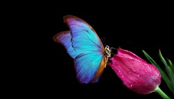 Beautiful blue morpho butterfly on a flower on a black background.Tulip flower in water drops isolated on black. Tulip bud and butterfly. copy spaces.