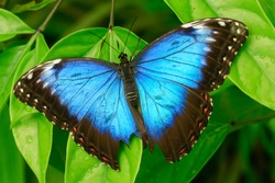 beautiful blue morpho butterfly on a green branch. captured in the wild in spring