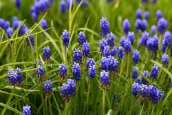 Beautiful blue muscari murine hyacinth flowers grow, bloom in garden in young green plants. Buds fade, dry, turn brown. Small bulbous plant Viper bow. Seed ripening. Dying beauty, flower faded closeup