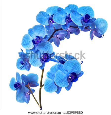 beautiful blue Orchid without background, bright blue Orchid flowers on a white background. isolate