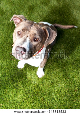 Beautiful Blue Pit Bull Sitting on Lush Green Grass Waiting for Treat