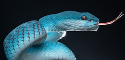 Beautiful Blue Poisonous Viper Snake