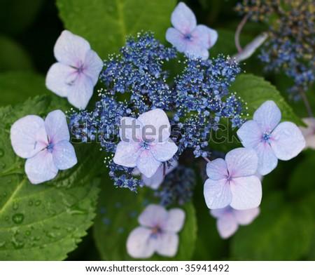 beautiful blue purple hydrangea, shallow depth of field