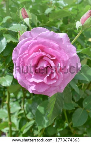Beautiful Blue River rose. Purple lavender roses in the garden