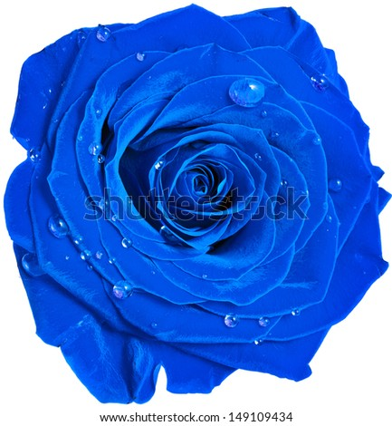 Stock Photo beautiful blue rose head with water drops close up  isolated on white background