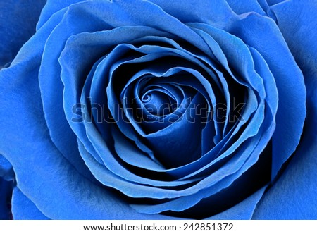 Stock Photo Beautiful blue rose. Macro image.