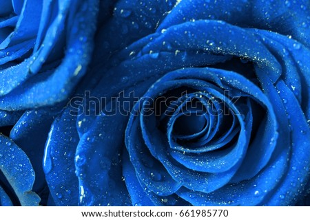 Stock Photo Beautiful blue rose macro with water drops