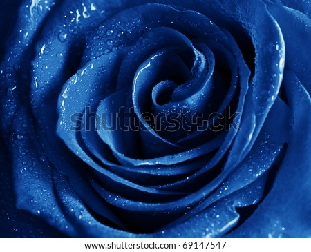 Stock Photo beautiful blue rose with water drops