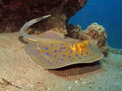 Beautiful blue spotted stingray on sand