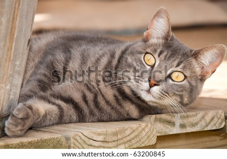 Beautiful blue tabby cat with striking yellow eyes resting on porch
