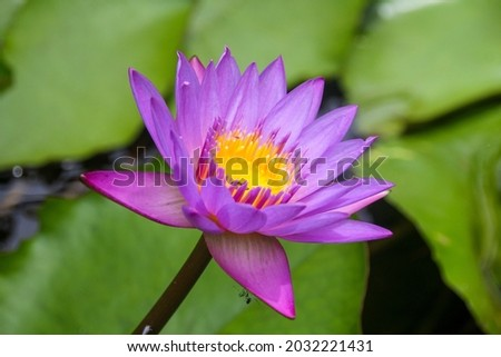 Beautiful blue water lily also known as Nil Manel. Scientific name - Nymphaea stellate.  Stok fotoğraf ©
