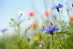 beautiful blue wildflowers. decorate the side of the field road. shallow focus, bokeh. wildflowers, spring natural background, place for text