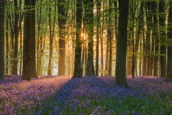 Beautiful bluebell forest landscape image in morning sunlight in Spring