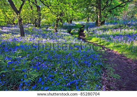 Beautiful bluebells in the forest