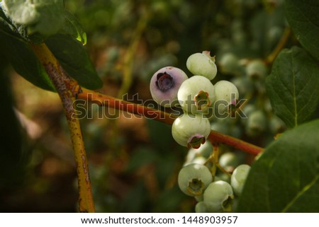 Beautiful blueberry fruits in clusters. Ripening fruits in clusters hang in clusters against a background of green healthy bushes. #1448903957
