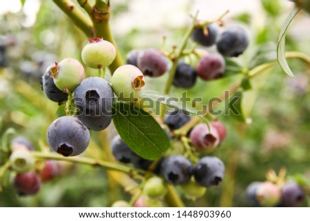 Beautiful blueberry fruits in clusters. Ripening fruits in clusters hang in clusters against a background of green healthy bushes. #1448903960
