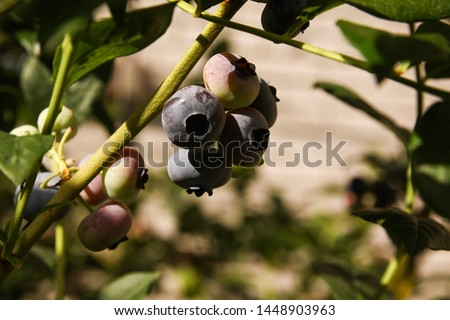 Beautiful blueberry fruits in clusters. Ripening fruits in clusters hang in clusters against a background of green healthy bushes. #1448903963