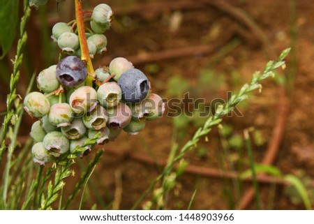Beautiful blueberry fruits in clusters. Ripening fruits in clusters hang in clusters against a background of green healthy bushes. #1448903966